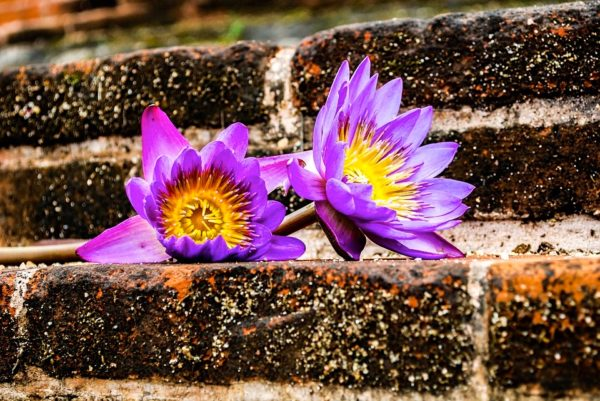 waterlily-1814036_960_720